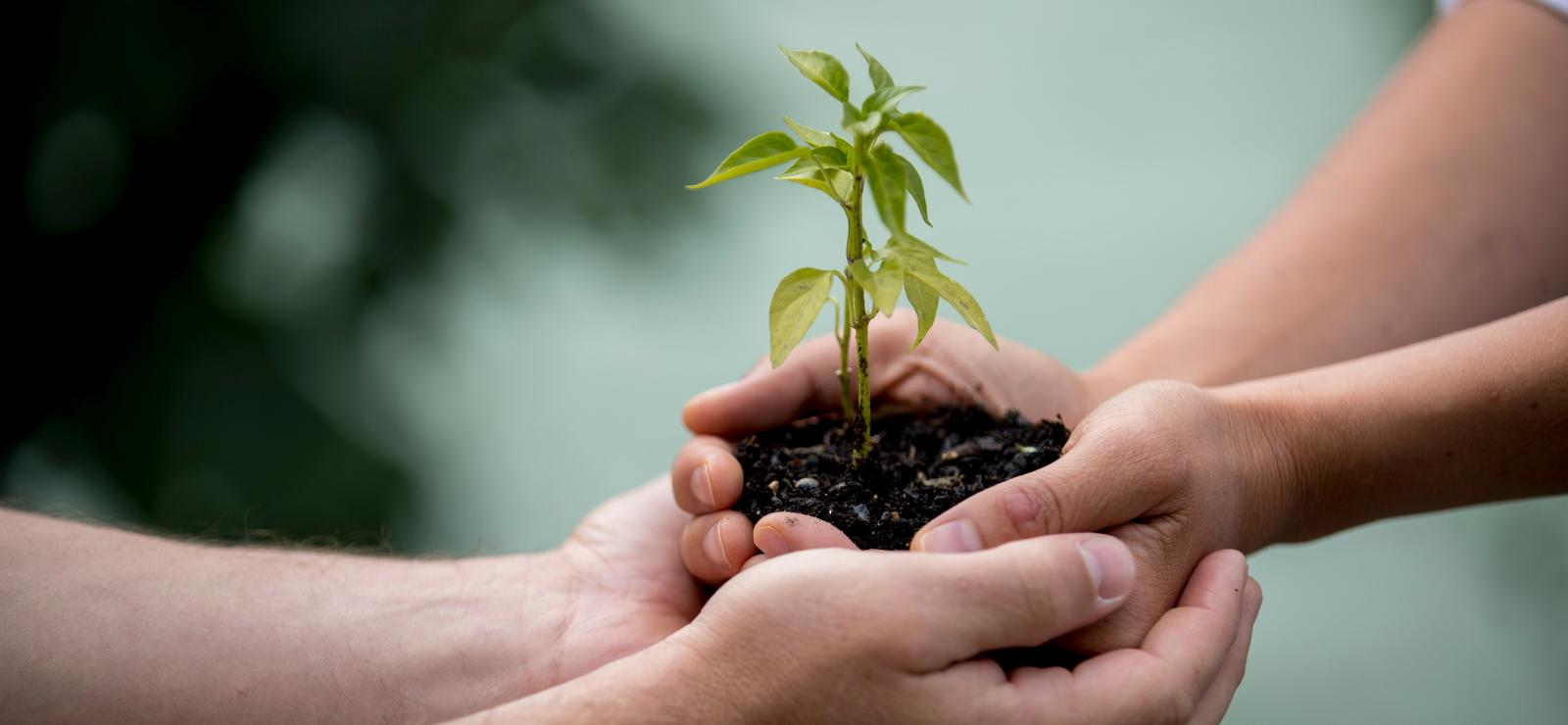Yhteistyö, kahdet kädet pitävät yhdessä kasvin taimea.